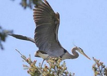 Great Blue Heron Photographed by Bill Linn
